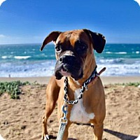 Adopt A Pet :: Zoe II - Huntington Beach, CA
