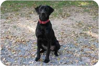 Labrador Retriever Dog for adoption in Baton Rouge, Louisiana - Indie