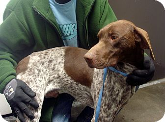 German Shorthaired Pointer Dog for adoption in baltimore, Maryland - Cole