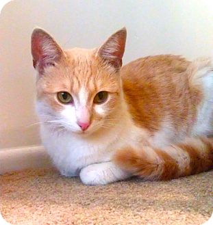 Domestic Shorthair Cat for adoption in San Diego, California - Leo URGENT! FOSTER NEEDED