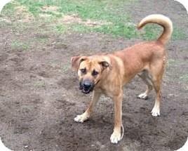 Shepherd (Unknown Type)/Boxer Mix Dog for adoption in Acushnet, Massachusetts - Loki