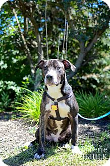 Pit Bull Terrier Mix Dog for adoption in Dublin, Ohio - Poncho