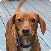 Adopt A Pet :: Rusty in Pembroke, MA! - Braintree, MA