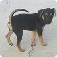 Adopt A Pet :: Sophia - Brattleboro, VT
