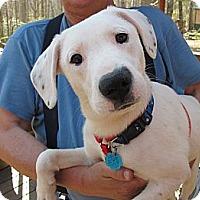 Adopt A Pet :: Domino - Brattleboro, VT