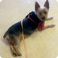Adopt A Pet :: Annie - North Port, FL