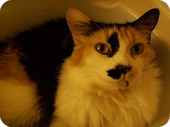 Calico Cat for adoption in Long Beach, California - CAKE ~ Fluffy & Fun!