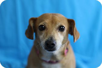Beagle/Chihuahua Mix Dog for adoption in Kempner, Texas - Bitsy