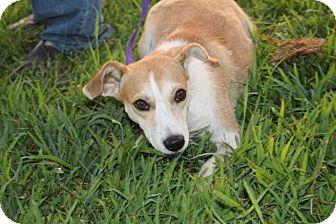 Australian Shepherd/Beagle Mix Dog for adoption in McKenzie, Tennessee - Hot Mess Houlihan