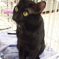 American Shorthair Cat for adoption in Chicago, Illinois - Midnight