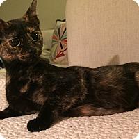 Adopt A Pet :: Macchiato - Addison, IL
