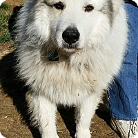 Adopt A Pet :: Sampson - Indian Trail, NC