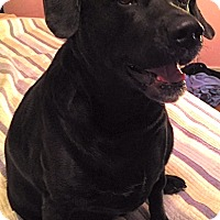 Adopt A Pet :: Big Angus - Richmond, VA