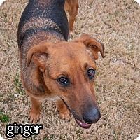 Adopt A Pet :: Ginger - Plano, TX