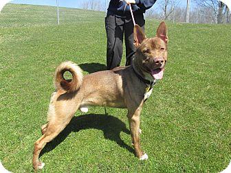 Akita Mix Dog for adoption in Lake Odessa, Michigan - Tonto