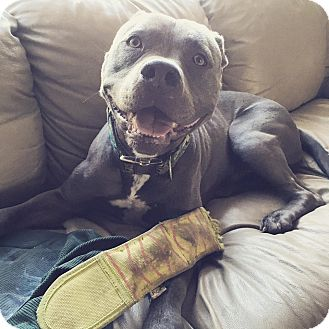 Pit Bull Terrier/American Staffordshire Terrier Mix Dog for adoption in Okanagan Valley, British Columbia - Bronx