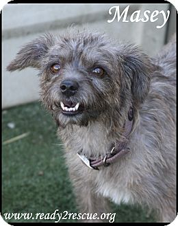 Cairn Terrier Mix Dog for adoption in Rockwall, Texas - Masey