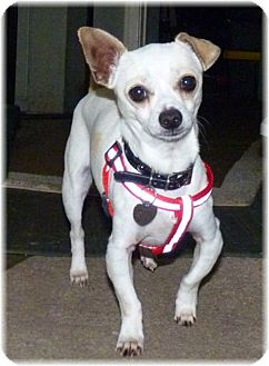 Chihuahua/Dachshund Mix Dog for adoption in San Diego, California - Ernie