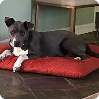 Weimaraner/Husky Mix Dog for adoption in Brattleboro, Vermont - DELTA