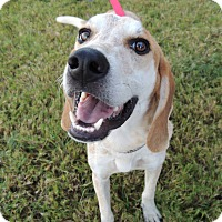 Redtick Coonhound Mix Dog for adoption in Humble, Texas - Hunter