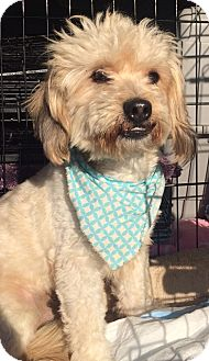 Havanese/Poodle (Miniature) Mix Dog for adoption in Los Angeles, California - FREDDY