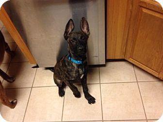 Labrador Retriever Mix Puppy for adoption in Austin, Texas - Puppy QT Pie