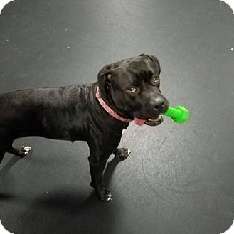 Boxer/Pit Bull Terrier Mix Dog for adoption in Bristol, Tennessee - Millie