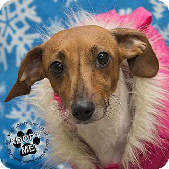 Dachshund Mix Dog for adoption in Troy, Ohio - Momma-Adoption Pending
