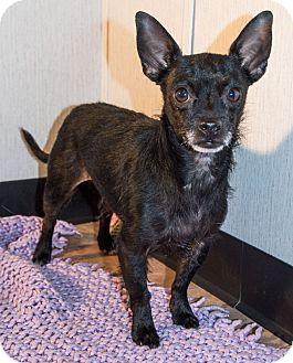 Chihuahua Mix Dog for adoption in Savannah, Georgia - George