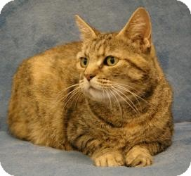 American Shorthair Cat for adoption in Sacramento, California - Claire