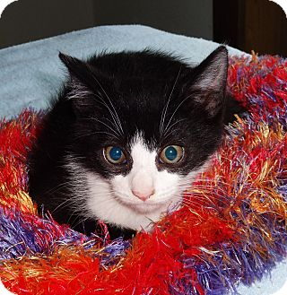 Domestic Shorthair Kitten for adoption in N. Billerica, Massachusetts - Benny