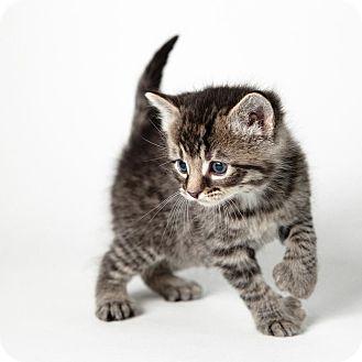 Polydactyl/Hemingway Kitten for adoption in Rockaway, New Jersey - Sam