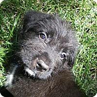Adopt A Pet :: Abraham - Apex, NC