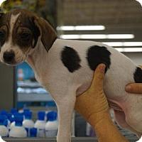Adopt A Pet :: Cheagle male - Martinez, GA