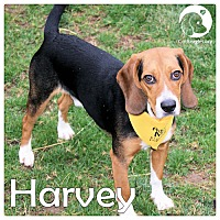 Adopt A Pet :: Harvey - Chicago, IL