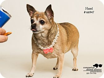Chihuahua Mix Dog for adoption in Baton Rouge, Louisiana - Hazel (Foster Care)