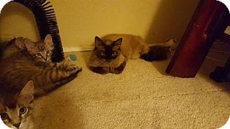 Siamese Cat for adoption in Walnut Creek, California - Princess