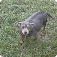 Chihuahua/Miniature Pinscher Mix Dog for adoption in Bonifay, Florida - Seal