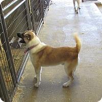 Akita Mix Dog for adoption in Walthill, Nebraska - Eddie