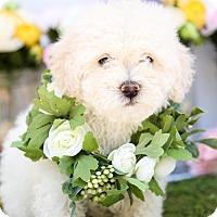 Adopt A Pet :: Snowball - Auburn, CA