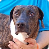 Beagle/Whippet Mix Dog for adoption in Las Vegas, Nevada - Jeremiah