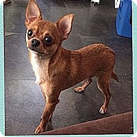 Adopt A Pet :: Lemur (Reduced Fee) - Hagerstown, MD