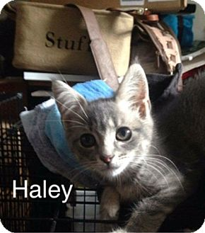 Domestic Shorthair Kitten for adoption in Brentwood, New York - Haley