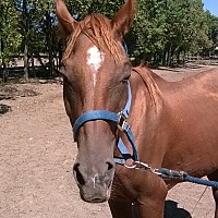 Quarterhorse Mix for adoption in Hitchcock, Texas - Maddison