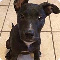 Adopt A Pet :: Ingrid - Fort Collins, CO