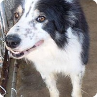 Border Collie Dog for adoption in All Cities, South Carolina - Jake