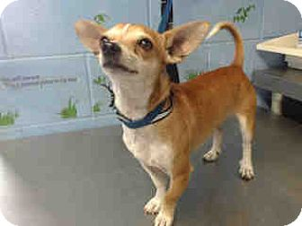 Chihuahua Mix Dog for adoption in San Bernardino, California - URGENT ON 10/12 San Bernardino