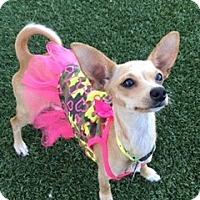 Adopt A Pet :: Pipsqueak - Las Vegas, NV