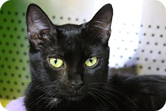 Domestic Shorthair Cat for adoption in Sarasota, Florida - Marilee