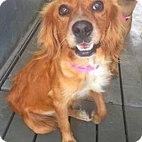 Adopt A Pet :: Gladys - Austin, TX